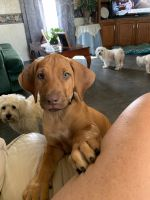 Rhodesian Ridgeback Puppies for sale in Fort Knox, KY, USA. price: NA