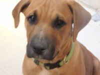 Rhodesian Ridgeback Puppies for sale in Yellville, AR 72687, USA. price: NA