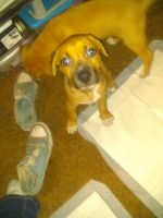 Rhodesian Ridgeback Puppies for sale in Union, OR 97883, USA. price: NA
