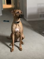 Rhodesian Ridgeback Puppies for sale in Crestwood, KY 40014, USA. price: NA