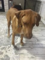 Rhodesian Ridgeback Puppies for sale in Palm Harbor, FL, USA. price: NA