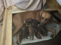 Rhodesian Ridgeback Puppies for sale in West Palm Beach, FL 33411, USA. price: NA
