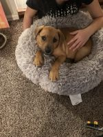 Rhodesian Ridgeback Puppies for sale in Phoenix, AZ 85014, USA. price: NA