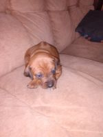 Rhodesian Ridgeback Puppies for sale in Blackville, SC 29817, USA. price: NA