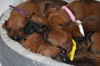 Rhodesian Ridgeback Puppies for sale in Spokane, WA, USA. price: NA