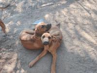 Rhodesian Ridgeback Puppies Photos