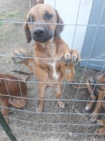 Rhodesian Ridgeback Puppies for sale in Oskaloosa, KS 66066, USA. price: NA
