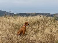 Rhodesian Ridgeback Puppies for sale in Pescadero, CA, USA. price: NA