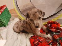 Rhodesian Ridgeback Puppies for sale in Doyline, LA 71023, USA. price: NA