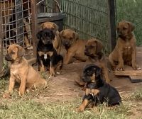 Rhodesian Ridgeback Puppies for sale in New Cordell, OK 73632, USA. price: NA