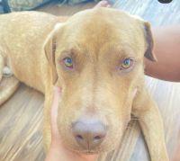 Rhodesian Ridgeback Puppies for sale in Killeen, TX 76544, USA. price: NA