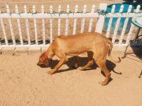 Rhodesian Ridgeback Puppies for sale in Del Sur, CA 93536, USA. price: NA