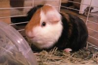 Guinea Pig Rodents for sale in Cleveland, TX, USA. price: NA