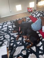 Rottweiler Puppies for sale in Avondale, AZ, USA. price: NA
