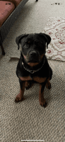 Rottweiler Puppies for sale in FL-524, Cocoa, FL 32926, USA. price: NA