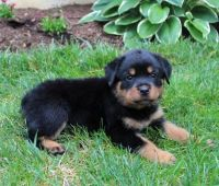 Rottweiler Puppies for sale in East Lansdowne, PA 19050, USA. price: NA