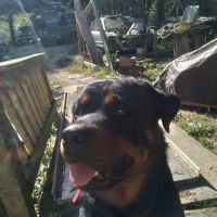 Rottweiler Puppies for sale in Blairsville, GA 30512, USA. price: NA