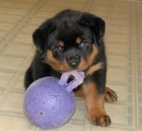 Rottweiler Puppies for sale in Ruston, WA 98407, USA. price: NA