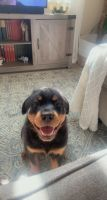 Rottweiler Puppies for sale in North Las Vegas, NV, USA. price: NA