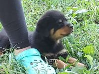 Rottweiler Puppies for sale in Cave City, KY 42127, USA. price: NA