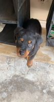 Rottweiler Puppies for sale in Hamden, CT, USA. price: NA