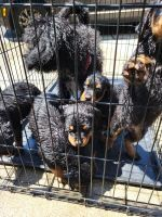 Rottweiler Puppies for sale in Atlanta, GA, USA. price: NA