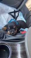 Rottweiler Puppies for sale in South Bend, IN 46613, USA. price: NA