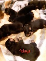 Rottweiler Puppies for sale in Center Ridge, AR 72027, USA. price: NA