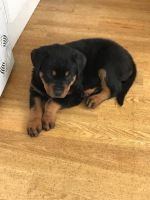Rottweiler Puppies for sale in Miami, FL, USA. price: NA