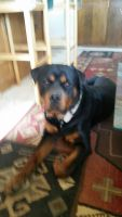 Rottweiler Puppies for sale in Tucson, AZ, USA. price: NA