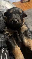 Rottweiler Puppies Photos