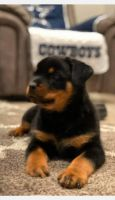 Rottweiler Puppies for sale in Riverside, CA 92509, USA. price: NA