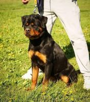 Rottweiler Puppies for sale in Houston, TX, USA. price: NA