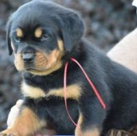 Rottweiler Puppies for sale in Redford Charter Twp, MI, USA. price: NA