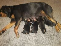 Rottweiler Puppies for sale in Springfield, MO, USA. price: NA