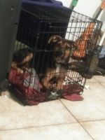 Rottweiler Puppies for sale in Lakeland, FL, USA. price: NA