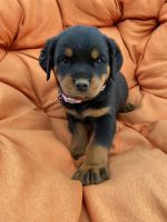 Rottweiler Puppies for sale in Lodi, CA, USA. price: NA