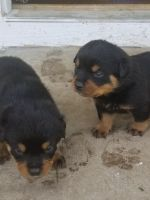 Rottweiler Puppies for sale in Rolla, MO, USA. price: NA