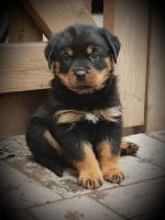 Rottweiler Puppies for sale in Bonita Springs, FL, USA. price: NA