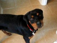 Rottweiler Puppies for sale in Gainesville, GA, USA. price: NA