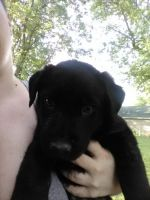 Rottweiler Puppies for sale in Fairview Heights, IL, USA. price: NA