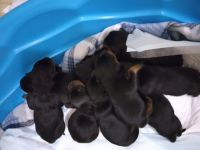 Rottweiler Puppies for sale in Franklin, LA 70538, USA. price: NA