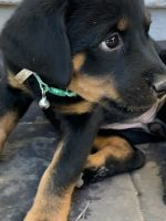 Rottweiler Puppies for sale in Citrus Heights, CA, USA. price: NA