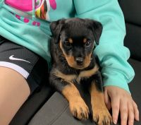 Rottweiler Puppies for sale in DeKalb, IL 60115, USA. price: NA