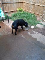 Rottweiler Puppies for sale in Marietta, GA, USA. price: NA