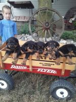 Rottweiler Puppies for sale in Grabill, IN 46741, USA. price: NA