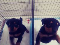 Rottweiler Puppies for sale in Albuquerque, NM 87105, USA. price: NA