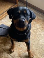 Rottweiler Puppies for sale in Columbus, OH, USA. price: NA