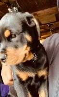 Rottweiler Puppies for sale in El Segundo, CA 90245, USA. price: NA