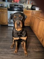 Rottweiler Puppies for sale in Moundsville, WV 26041, USA. price: NA